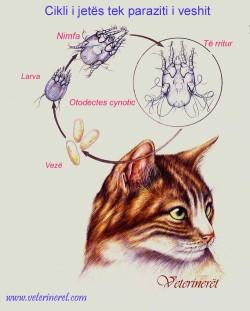 cikli i jetes tek Otodectes cynotic