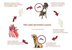 cikli i krimbave te zemres