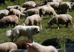 A Great Pyrenees dog surveys a flock of sheep near Les Diablerets