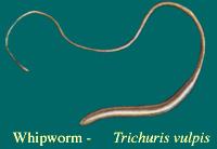 Trichuris vulpus