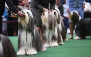 Bearded collies gjate show-t