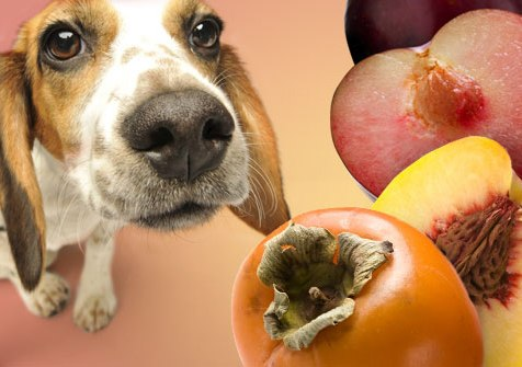 Hurmat, kumbullat, pjeshkët- Problemi me këto fruta është fara. Fara e tyre mund të shkaktojë probleme të ndryshme në zorrë gjatë kalimit të ushqimit. Këto mund të shkaktojnë gjithashtu dhe bllokim plus që hurmat ndonjëherë janë të rrezikshme dhe për njerëzit, mos harrojmë që ato mbajnë dhe cyanid, që është toksik si tek njerëzit dhe kafshët. Ndryshimi është se njeriu e di kush duhet ngrënë dhe kush nuk duhet, e ndërsa qeni nuk e kupton dot.