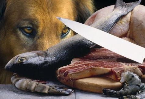Mishi dhe peshku i pagatuar duhet ta bëjë më të fortë qenin apo jo? Sigurisht përgjigja është JO. Mishi dhe peshku i papërpunuar( vecanërisht mbeturinat e tyre), ashtu sikurse dhe veza, mund të kenë disa baktere që shkaktojnë helmime nga ushqimi. Përvec këaj lloje të vecanta të pëshkut si : trofta, koca, apo peshku bli, mund të përmbajnë një parazit që shkakton sëmundje ( sëmundja e peshkut , ose sëmundja e helmimit nga Salmoni) e cila nësë nuk trajtohet, mund të jetë fatale për jetën e qenit tuaj brenda 2 javësh. Gatuani plotësisht mishin dhe peshkun para se ti jepni ato qenit tuaj per konsumim.