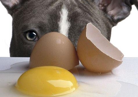 Shpesh herë dëgjojmë: Doktor qeni im i ka qejf vezët sic janë , të pagatuara.-Ka 2 probleme nëse jeni ju ai që I jepni qenit tuaj vezë të pagatuar. E para është mundësia e helmimit ushqimor nga baktere si salmonella ise E. coli. E dyta është se enzimat që janë tek vezët e papërpunuara ndërhyjnë në thithjen vecanërisht të vitaminës B. Kjo mund të shkaktojë probleme të lëkurës, gjithashtu dhe probleme me qimen ( gëzofin) e qenit tuaj nëse ai konsumon vezë të papërpunuara për një periudhë të gjatë kohore.