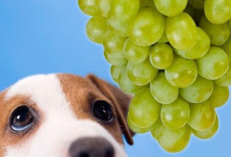 Rrushi- Qoftë rrush i freskët apo rrush i thatë nuk duhet të përdoret tek qeni. Pronarët që mund ta kenë përdorur rrushin ju sqarojmë se kjo nuk është një veprim që duhet ta vazhdoni. Edhe pse është e paqartë përse, rrushi shkakton dëmtime të veshkave tek qeni ( mosfunksionim të tyre). Dhe mjafton vetëm një dozë e vogël që ta sëmurë qenin tuaj. Vjellje të përsëritura është një nga shënjat e para. Brenda një dite, qeni do të bëhet letargjik dhe shënja depresioni. Parandalimi më i mirë është ti mbani larg qenve ( në vënde ku nuk mund ti arrijnë ) rrushin e freskët apo të thatë.