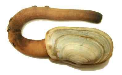 Hiatellidae-The Geoduck -Me një qafë të gjatë që mund të arrijë deri në  1 metër duke i bërë kështu molusqet më të mëdhenj në botë, por dhe me një jetagjëtsi më të madhe me një rekord moshe prej 168 vjecare