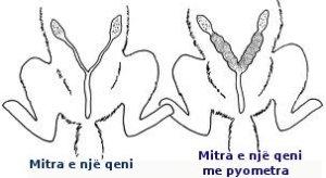 pyometra11