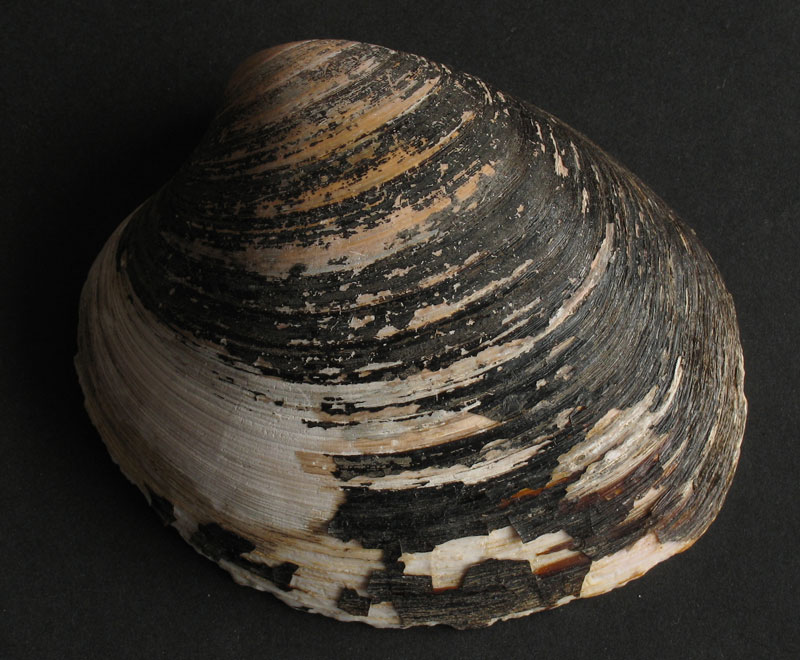 Ocean  quahog (Arctica islandica) - Ky molusk mban rekordin e jetëgjatësise të raportuar prej një maksimumi : 507-të vjecare