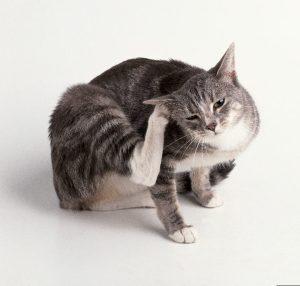 mace kruan veshin