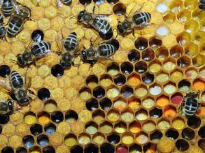 bletet grumbullim polen dhe nektar
