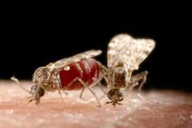 Mushkonja culicoides, transmetuese e infeksionit (virusit)