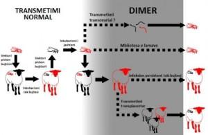 Skema e transmetimit të  virusit  në  kafshë  dhe  mushkonja