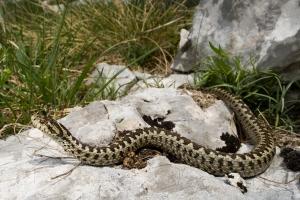 gjarper helmues- Neperka ( vipera ursinii)