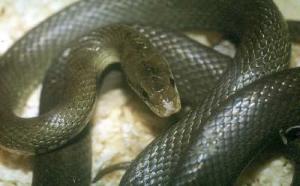 Gjarperi shtepise (elaphe longissima)