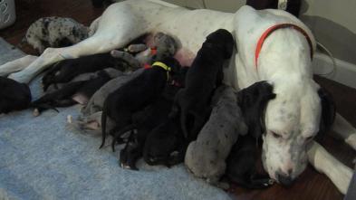 Great Dane lindi 19 kelyshe