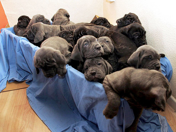 guinness-rekordi-mastiff-puppies-blog