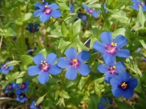 Bar capoi- Anagallis arvensis ngjyre blu