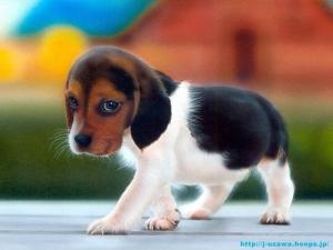 Kelysh Beagle