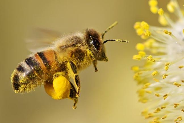 bleta-dhe-poleni