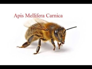 apis-mellifera-carnica